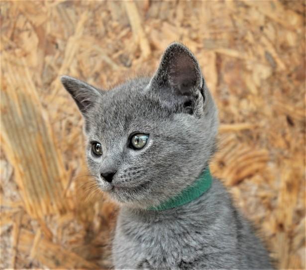 2018.05.19-Gato azul ruso barcelona russian blue kitten - Coltrane 09