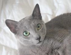 2018.06.09-gato azul ruso barcelona russian blue kitten 22 - grimoire 05