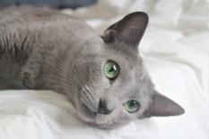 2018.06.09-gato azul ruso barcelona russian blue kitten 22 - grimoire 07