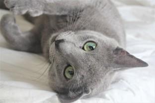 2018.06.09-gato azul ruso barcelona russian blue kitten 22 - grimoire 08