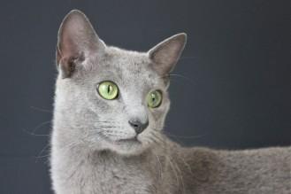 2018.06.09-gato azul ruso barcelona russian blue kitten 22 - grimoire 10
