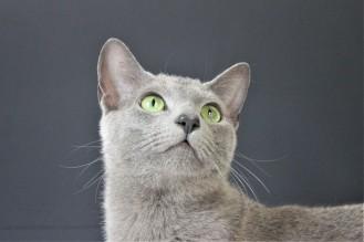 2018.06.09-gato azul ruso barcelona russian blue kitten 22 - grimoire 11