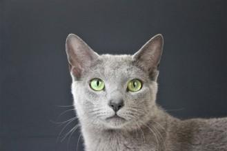 2018.06.09-gato azul ruso barcelona russian blue kitten 22 - grimoire 12
