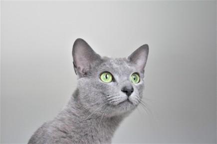 2018.06.09-gato azul ruso barcelona russian blue kitten 22 - grimoire 16
