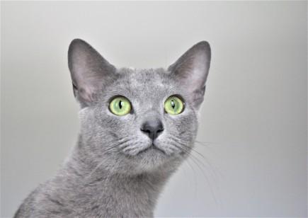 2018.06.09-gato azul ruso barcelona russian blue kitten 22 - grimoire 18