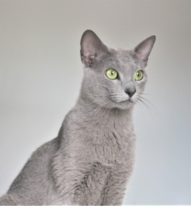 2018.06.09-gato azul ruso barcelona russian blue kitten 22 - grimoire 21