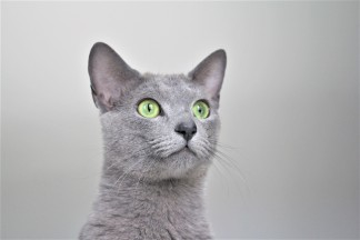2018.06.09-gato azul ruso barcelona russian blue kitten 22 - grimoire 23