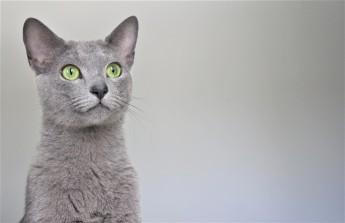 2018.06.09-gato azul ruso barcelona russian blue kitten 22 - grimoire 24
