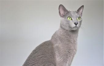 2018.06.09-gato azul ruso barcelona russian blue kitten 22 - grimoire 26