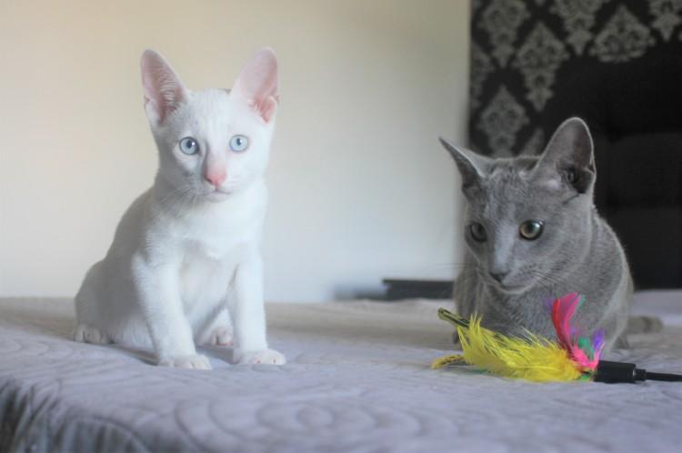 2018.08.16-Gato khao manee russian blue barcelona kitten 01 - Contrane and Dizzy 07
