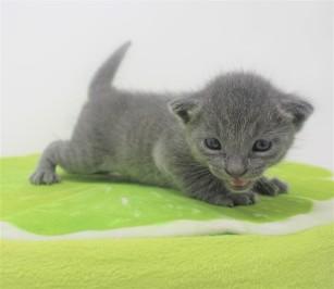 2018.09.23-Gato azul ruso barcelona russian blue kitten - Enzo 01