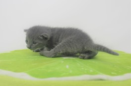 2018.09.23-Gato azul ruso barcelona russian blue kitten - Enzo 02