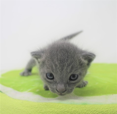 2018.09.23-Gato azul ruso barcelona russian blue kitten - Enzo 03