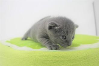 2018.09.23-Gato azul ruso barcelona russian blue kitten - Enzo 04