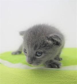 2018.09.23-Gato azul ruso barcelona russian blue kitten - Enzo 05