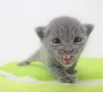 2018.09.23-Gato azul ruso barcelona russian blue kitten - Enzo 06