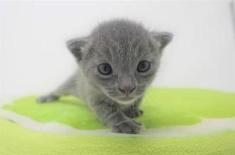 2018.09.23-Gato azul ruso barcelona russian blue kitten - Enzo 07