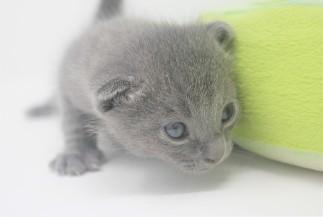 2018.09.23-Gato azul ruso barcelona russian blue kitten - Enzo 08