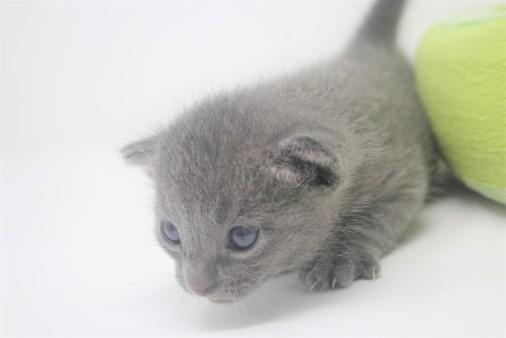 2018.09.23-Gato azul ruso barcelona russian blue kitten - Enzo 09