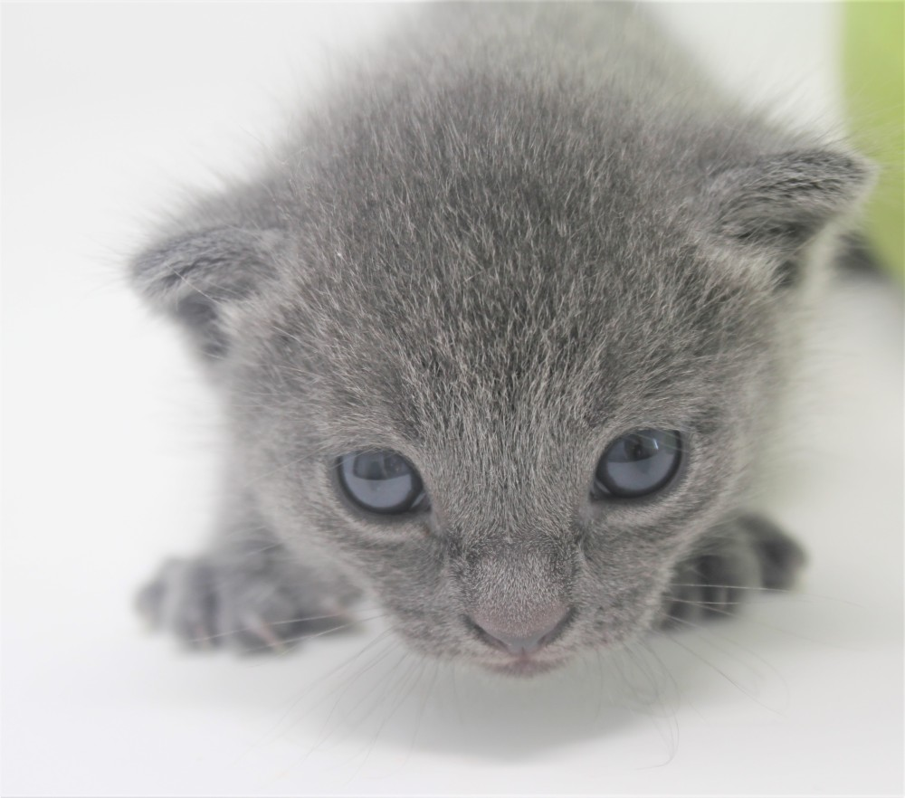 2018.09.23-Gato azul ruso barcelona russian blue kitten - Enzo 10