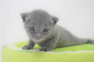 2018.09.23-Gato azul ruso barcelona russian blue kitten - Enzo 12