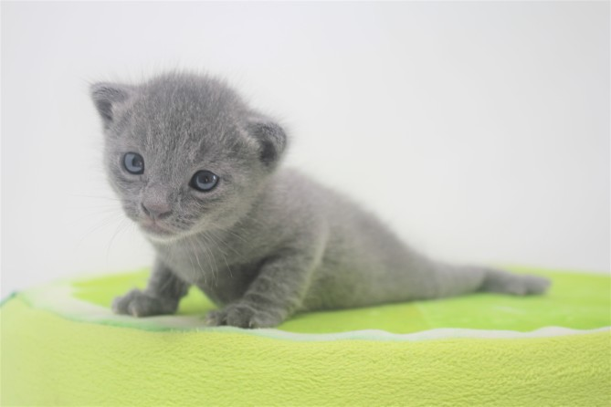 2018.09.23-Gato azul ruso barcelona russian blue kitten - Enzo 14