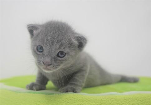 2018.09.23-Gato azul ruso barcelona russian blue kitten - Enzo 15