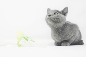 2018.11.04-Gato azul ruso barcelona russian blue kitten - 02
