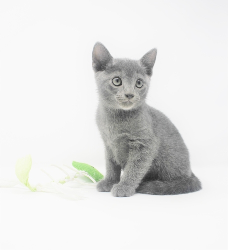 2018.11.04-Gato azul ruso barcelona russian blue kitten - 04