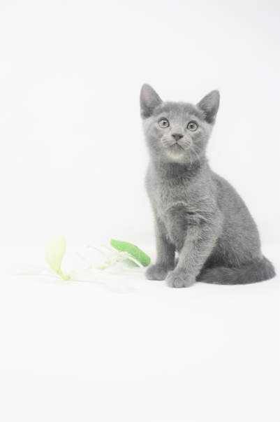 2018.11.04-Gato azul ruso barcelona russian blue kitten - 06