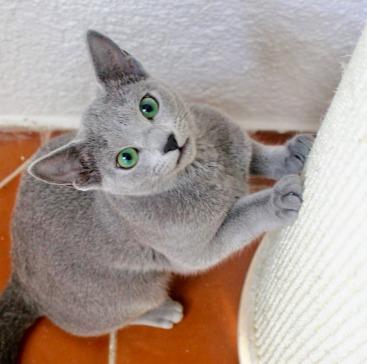 2018.12.02-gato azul ruso Barcelona russian blue kitten - Monica 01