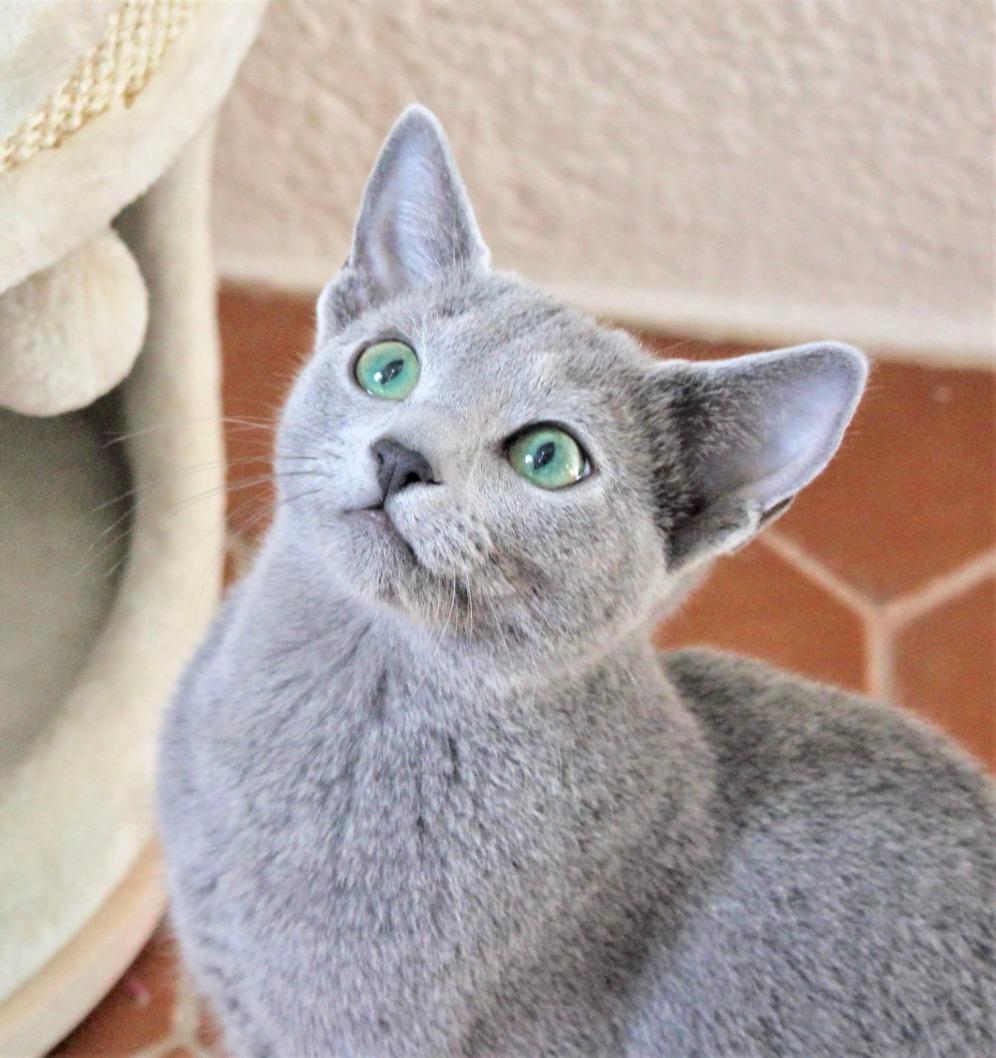 2018.12.02-gato azul ruso Barcelona russian blue kitten - Monica 02