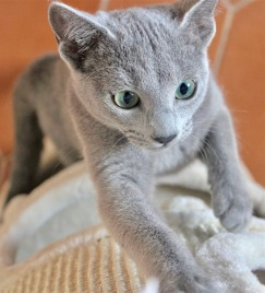 2018.12.02-gato azul ruso Barcelona russian blue kitten - Monica 03