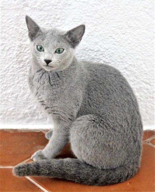 2018.12.02-gato azul ruso Barcelona russian blue kitten - Monica 04