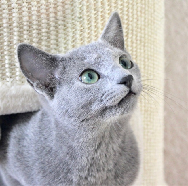 2018.12.02-gato azul ruso Barcelona russian blue kitten - Monica 05