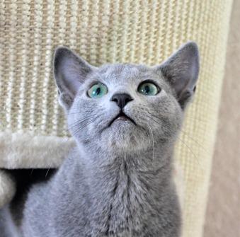 2018.12.02-gato azul ruso Barcelona russian blue kitten - Monica 07