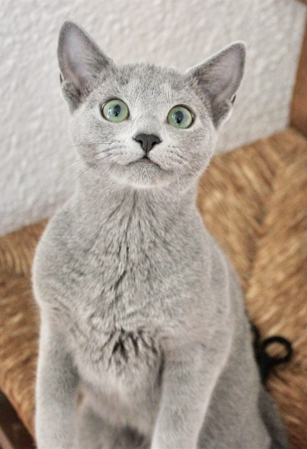 2018.12.02-gato azul ruso Barcelona russian blue kitten - Monica 08