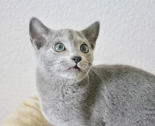 2018.12.02-gato azul ruso Barcelona russian blue kitten - Nevsky 01