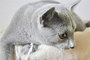 2018.12.02-gato azul ruso Barcelona russian blue kitten - Nevsky 02