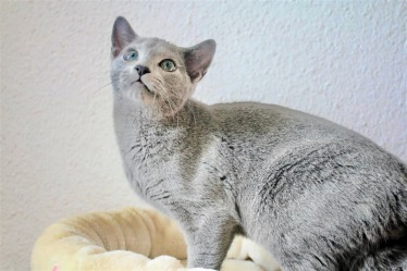2018.12.02-gato azul ruso Barcelona russian blue kitten - Nevsky 03