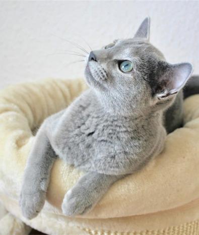 2018.12.02-gato azul ruso Barcelona russian blue kitten - Nevsky 05