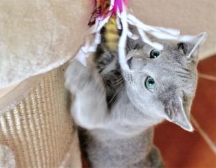 2018.12.02-gato azul ruso Barcelona russian blue kitten - Nevsky 06