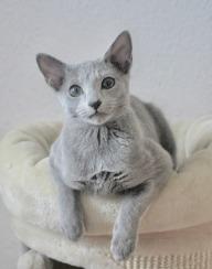 2018.12.02-gato azul ruso Barcelona russian blue kitten - Viktorie 01