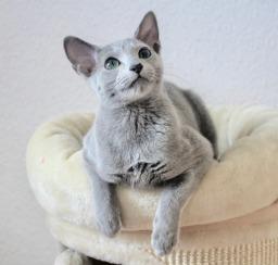 2018.12.02-gato azul ruso Barcelona russian blue kitten - Viktorie 02