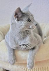 2018.12.02-gato azul ruso Barcelona russian blue kitten - Viktorie 03
