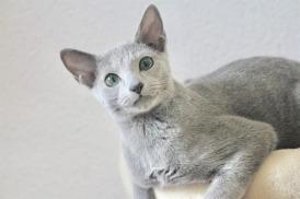 2018.12.02-gato azul ruso Barcelona russian blue kitten - Viktorie 04