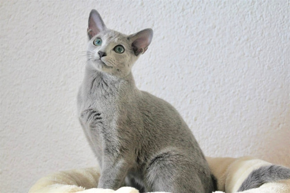 2018.12.02-gato azul ruso Barcelona russian blue kitten - Viktorie 05