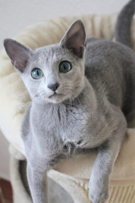 2018.12.02-gato azul ruso Barcelona russian blue kitten - Viktorie 07