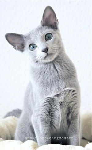 2018.12.02-gato azul ruso Barcelona russian blue kitten - Viktorie 08