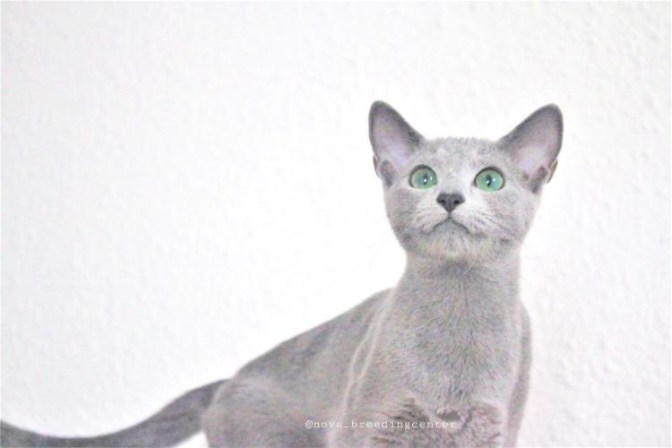 Gato azul ruso Barcelona russian blue 01